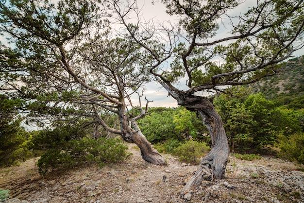 Jeneverbesboom op rotsachtige grond in het bos