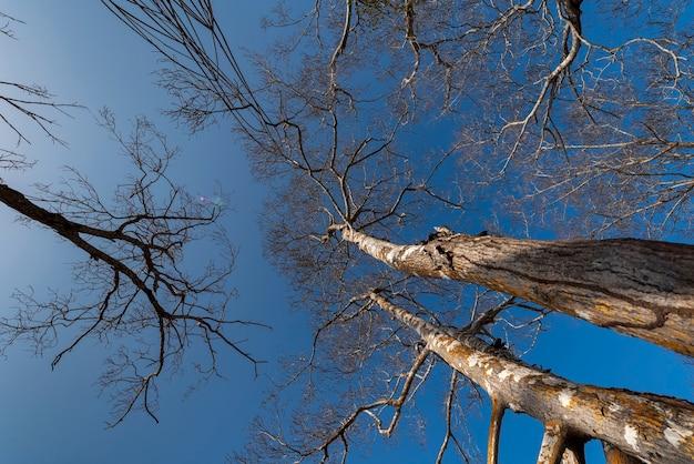 Jericoacoara strand ceara brazilië mangrove met droge bomen in de blauwe lucht