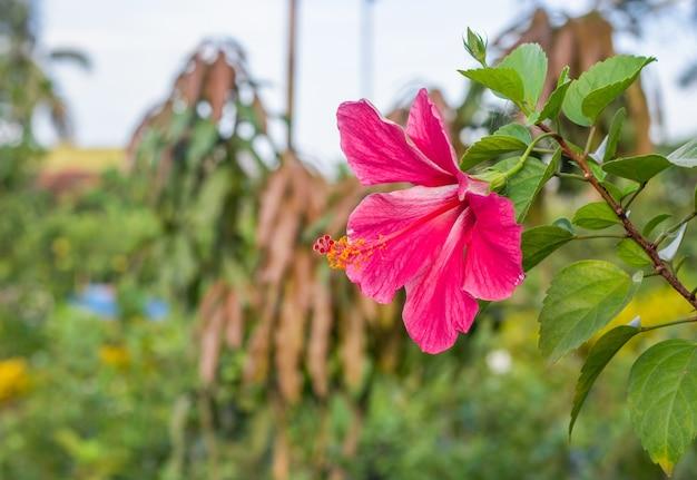 Joba of roze hibiscus rosa bloem bloeide in de moestuin