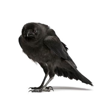 Jong carrion crow, corvus-corone op een geïsoleerd wit