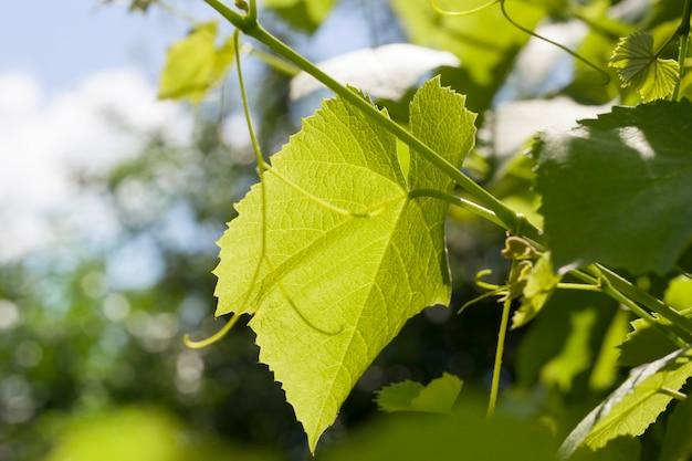 Jong groen blad van druiven in de vroege zomer of het late voorjaar