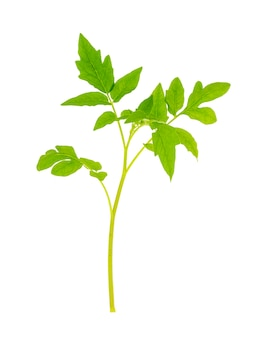 Jong groen blad van tomaat