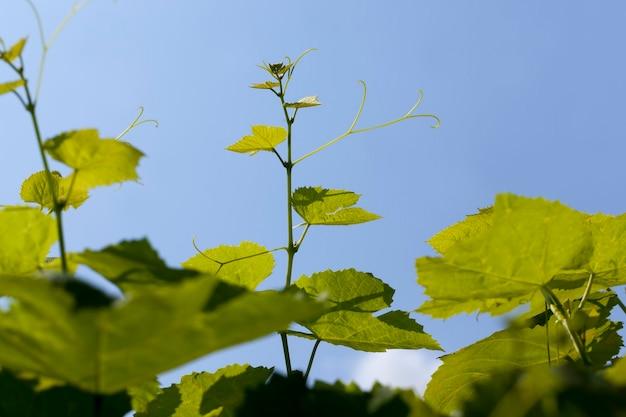 Jong groen gebladerte van druiven tegen de blauwe lucht, groene bladeren van druiven in het lenteseizoen