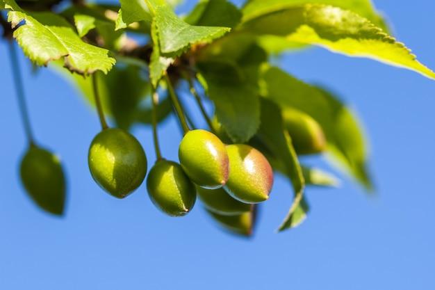 Jong groen pruimfruit op een boom, blauwe hemelachtergrond.