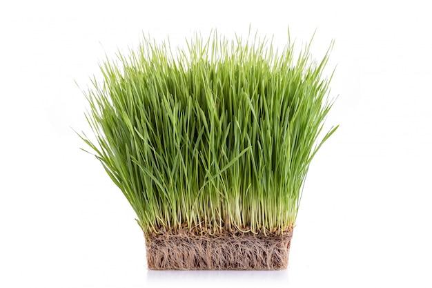 Jong groen wheatgrass-studioschot dat op wit wordt geïsoleerd