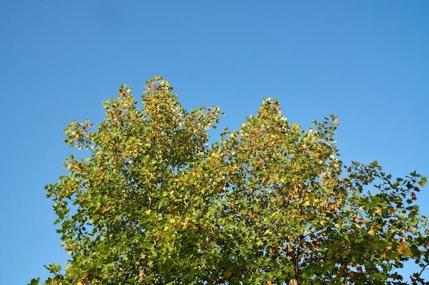 Jong lichtgroen eiken loof tegen een blauwe lucht