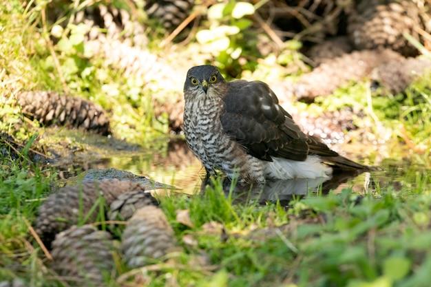 Jong mannetje van euraziatische sperwer op een natuurlijk waterpunt in een dennenbos in de zomer