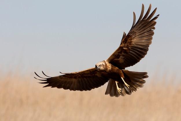 Jong mannetje van westerse bruine kiekendief die met de laatste lichten van de middag vliegt