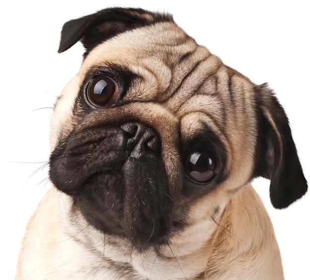 Jong pug close-up