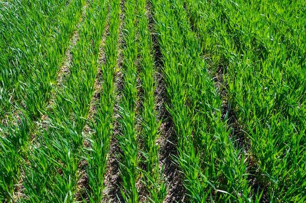 Jong tarwegebied in de lente, zaailingen die in een grond groeien