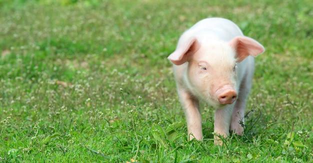 Jong varken op een lentegroen gras