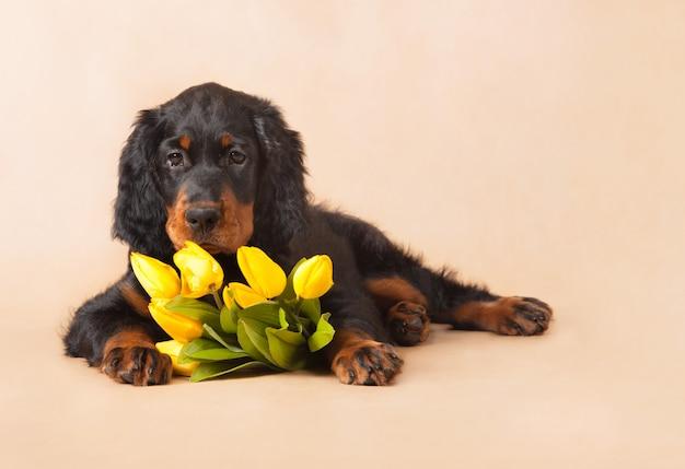 Jong zwart en bruin puppy met gele tulpen