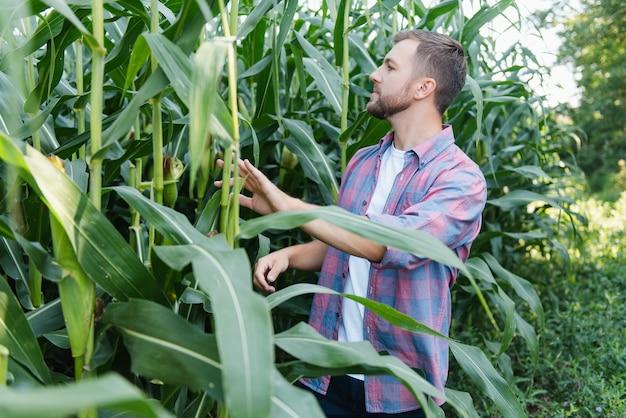 Jonge aantrekkelijke man met baard die in de nazomer maïskolven in het veld controleert