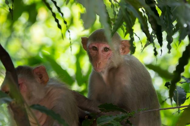 Jonge aap ook bekend als de resusaap die onder de boom zit en naar de camera kijkt