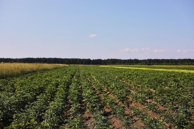 Jonge aardappelplant groeit op de bodem. aardappelstruik in de tuin. gezonde jonge aardappelplant in biologische tuin. biologische landbouw. gebied van groene aardappelstruiken
