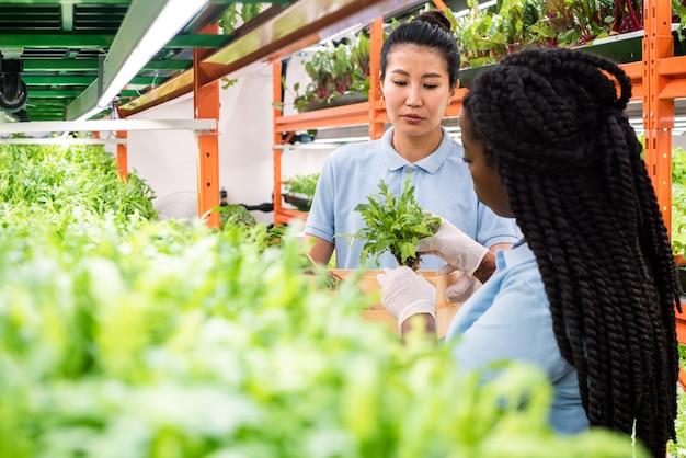 Jonge afrikaanse broeikasgassen werknemer groene zaailingen aanbrengend vak gehouden door haar aziatische collega vóór transport