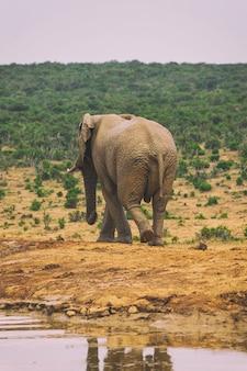 Jonge afrikaanse olifant lopen in struiken van addo national park, zuid-afrika