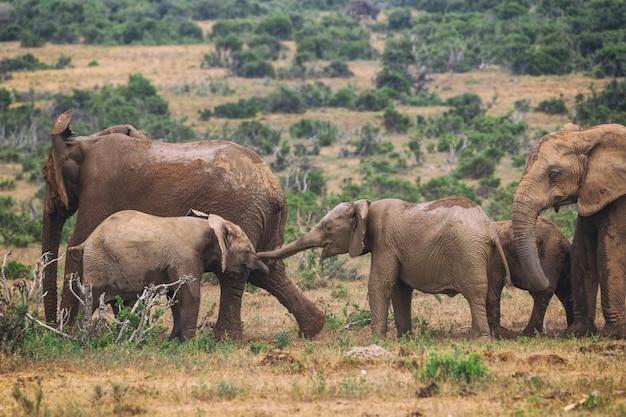 Jonge afrikaanse olifanten spelen in addo national park in zuid-afrika