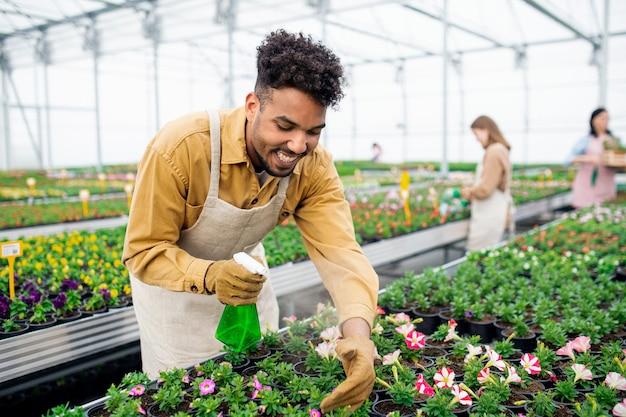 Jonge afro-amerikaanse man aan het werk in kas in tuincentrum, planten sproeien.