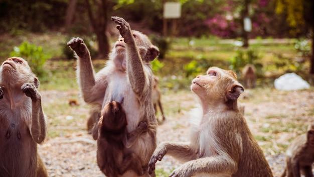 Jonge apen makaak in thailand, zuidoost-azië. geluk achtergrond concept.