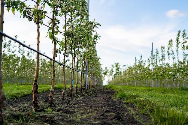 Jonge appelboomgaard met druppelirrigatiesysteem voor bomen