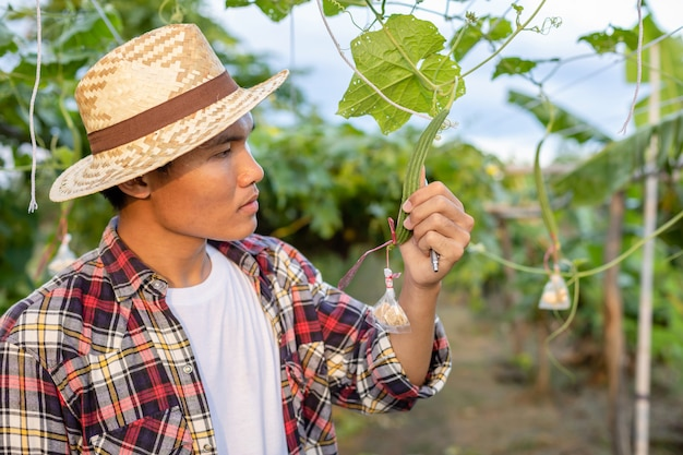 Jonge aziatische boer die zijn plant of groente controleert (luffa cylindrica)