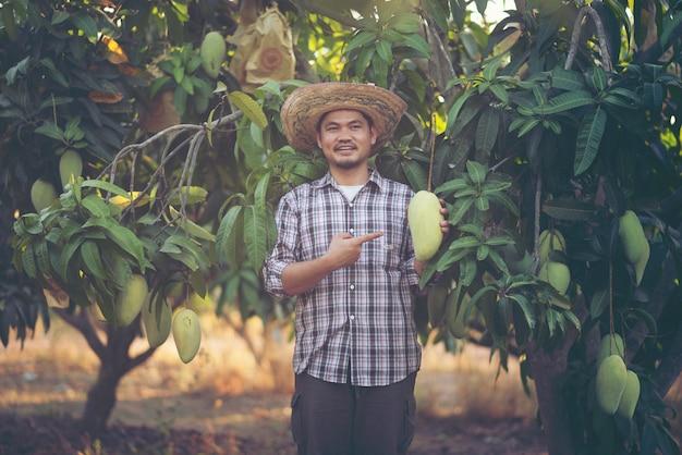 Jonge aziatische landbouwer die en mangofruit in organisch landbouwbedrijf, thailand plukt toont