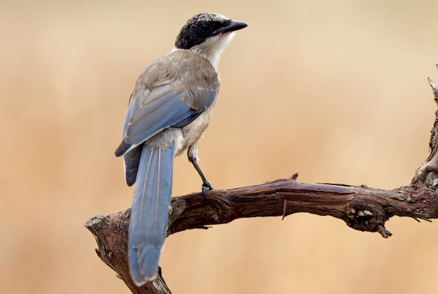 Jonge azuurblauwe ekster, vogels, corvidae, azuurblauw, ekster, vogels`` cyanopica cyanus