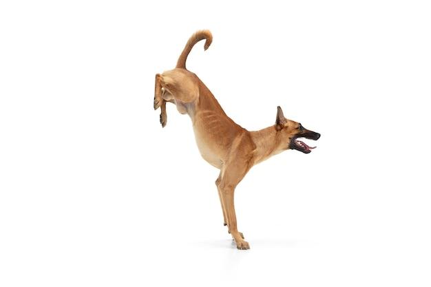 Jonge belgische herder mechelaar poseert. het leuke hondje of het huisdier speelt, rent en kijkt gelukkig geïsoleerd op witte achtergrond.