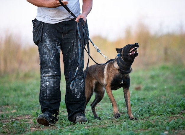Jonge belgische herder traint in de zomer in de natuur