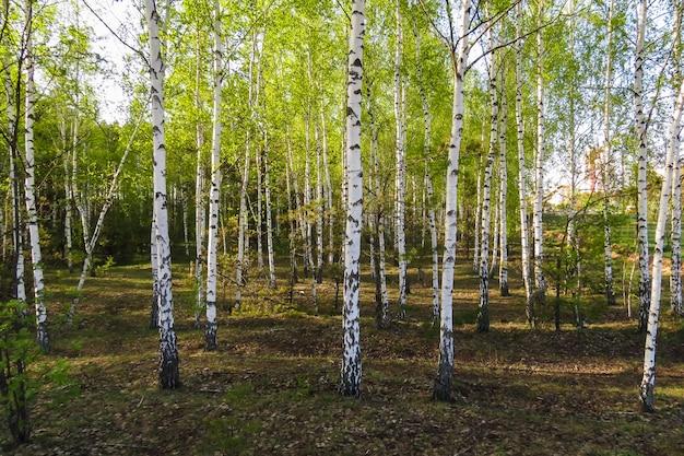 Jonge berkenbomen en verse groene berkbladeren in de lente, zonnige dag in het park