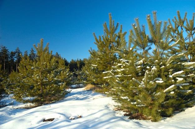 Jonge besneeuwde kerstbomen groeien in een bos tussen sneeuwbanken op een bewolkte winterdag