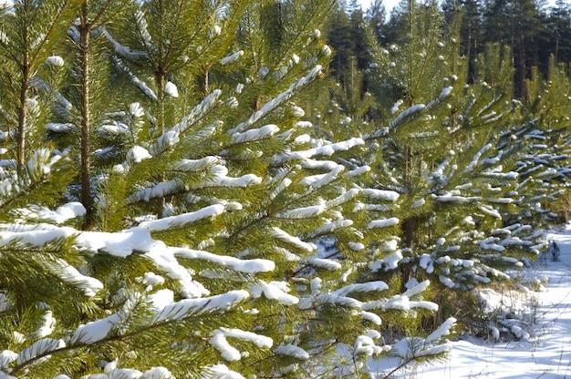 Jonge besneeuwde kerstbomen groeien in een bos