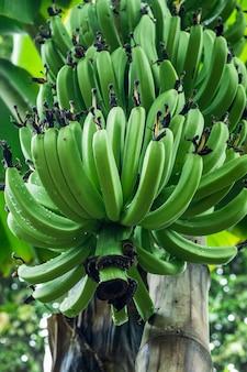 Jonge biologische bananen groeien op de boom in de tuin close-up met selectieve focus