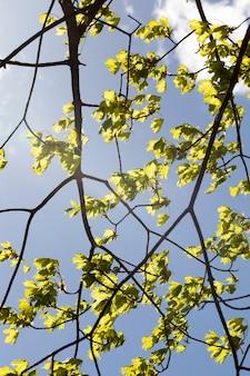 Jonge bladeren en bloemen van esdoorns in de lente, zonnig weer, helder weer, een beetje bewolkt