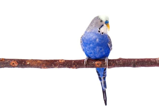 Jonge blauwe grasparkiet op zitstok, die op wit wordt geïsoleerd