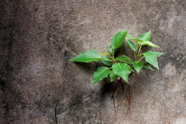 Jonge bodhiboom groeit in een kier in de muur.