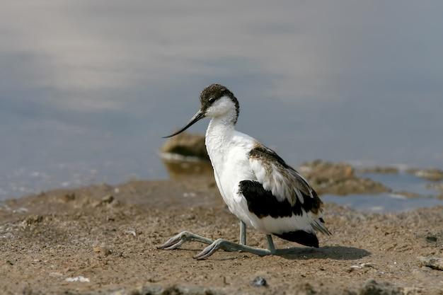 Jonge bonte kluut (recurvirostra avosetta) zit aan de oever van het meer