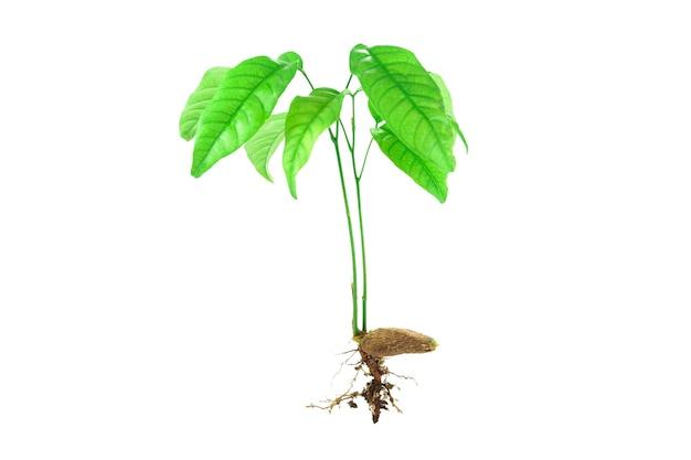 Jonge boompje en zaad geïsoleerd op een witte achtergrond
