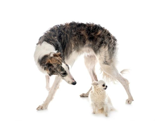 Jonge borzoi en chihuahua