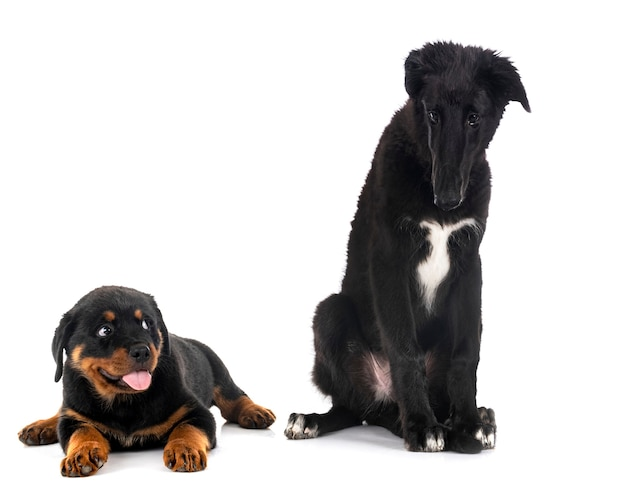 Jonge borzoi en puppy rottweiler voor witte achtergrond