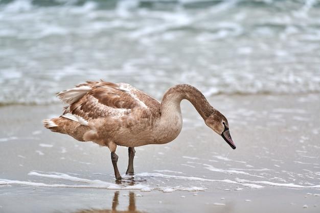 Jonge bruin gekleurde witte zwaan voeden en vissen op zee. zwanenkuiken met bruine veren op zoek naar voedsel. knobbelzwaan, latijnse naam cygnus olor.