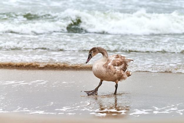 Jonge bruin gekleurde witte zwaan wandelen door blauwe wateren van de oostzee. close-up afbeelding met hoge resolutie van zwaan kuiken met bruine veren. knobbelzwaan, latijnse naam cygnus olor.