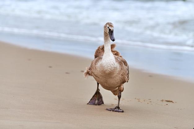 Jonge bruin gekleurde witte zwaan wandelen door blauwe wateren van de oostzee. close-up afbeelding met hoge resolutie van zwaan kuiken met bruine veren