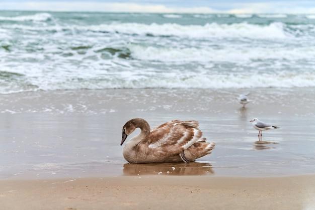 Jonge bruin gekleurde witte zwaan zittend op zand door blauwe wateren van de oostzee