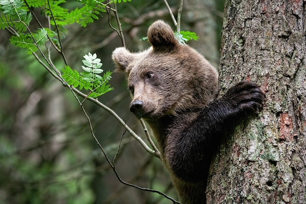 Jonge bruine beer klampt zich vast aan boom met natte grote poot in afgelegen bos in de zomer forest
