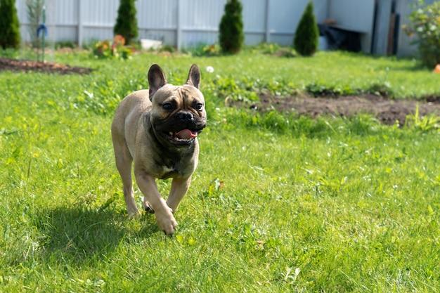 Jonge bruine franse boulldog die op een achtertuin loopt. zuivere rashond buitenshuis.