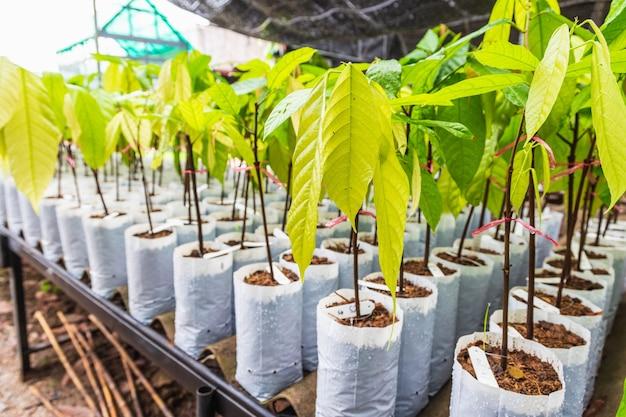 Jonge cacaoboom in de kinderkamer