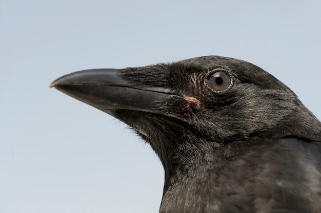 Jonge carrion crow - corvus-corone (4 maanden) voor een blauwe geïsoleerde muur