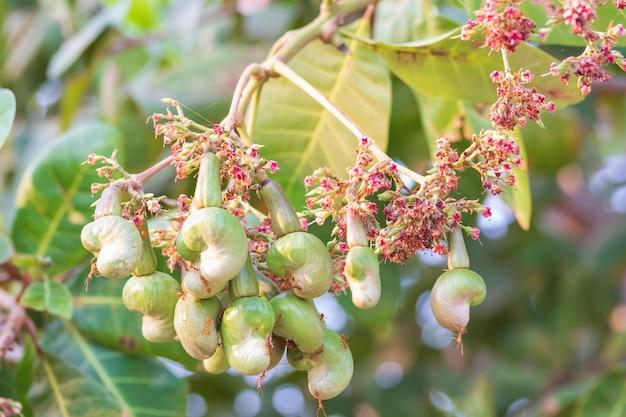 Jonge cashewnoot op boom en mieren klampen zich vast aan cashewnoten